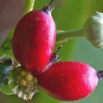 Monellina – słodkie jagody Serendipity
