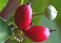 serendipity berries