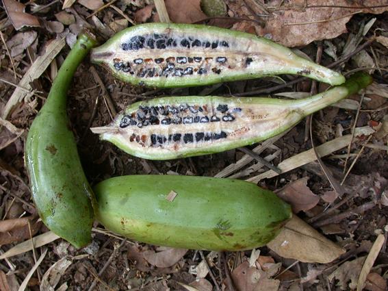 Dziki banan